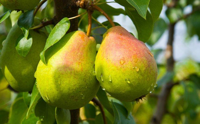 Birnen schmecken sowohl frisch geerntet, aber auch zu Köstlichkeiten verarbeitet.