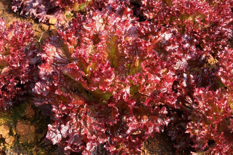 Der Batavia Salat kann von einem dunklen rot-braun bis zu hell-grün gefärbt sein.