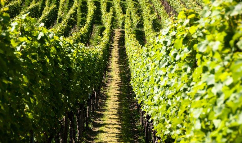 Die Pfalz gilt als zweitgrößtes Weinanbaugebiet in Deutschland.
