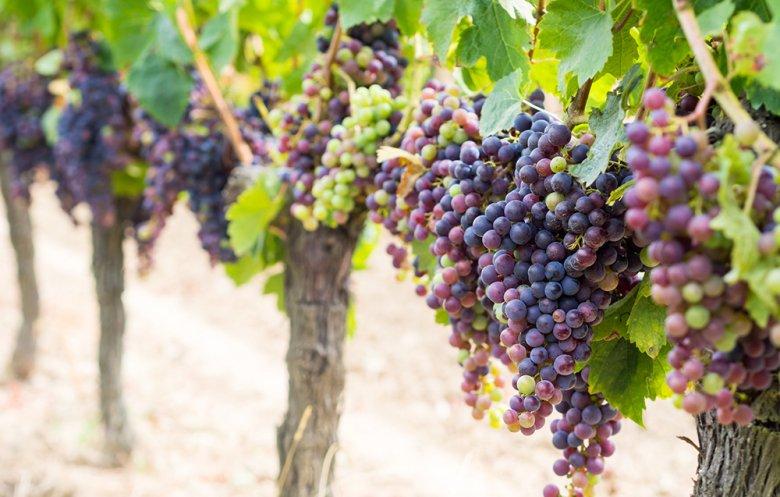 Die Cabernet-Sauvignon-Traube zählt zu den beliebtesten Rebsorten unter den Qualitätsrotweinen.