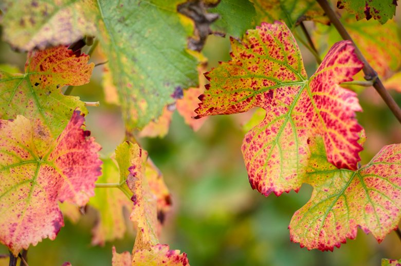 In den Weinbaugebieten rund um der Stadt Oran werden rund dreiviertel der algerischen Weine produziert.