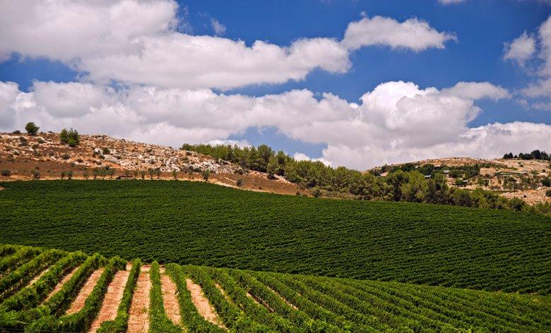 Galiläa gehört zu den wichtigsten Weinbaugebieten in Israel.