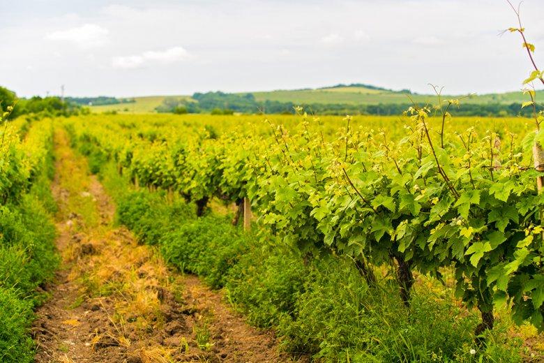 Ambitionierter Winzer wollen das traditionelle Weinland Rumänien wieder zu alter Stärke zurückführen.