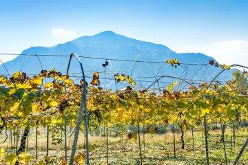Weinland Japan - japanischer Wein