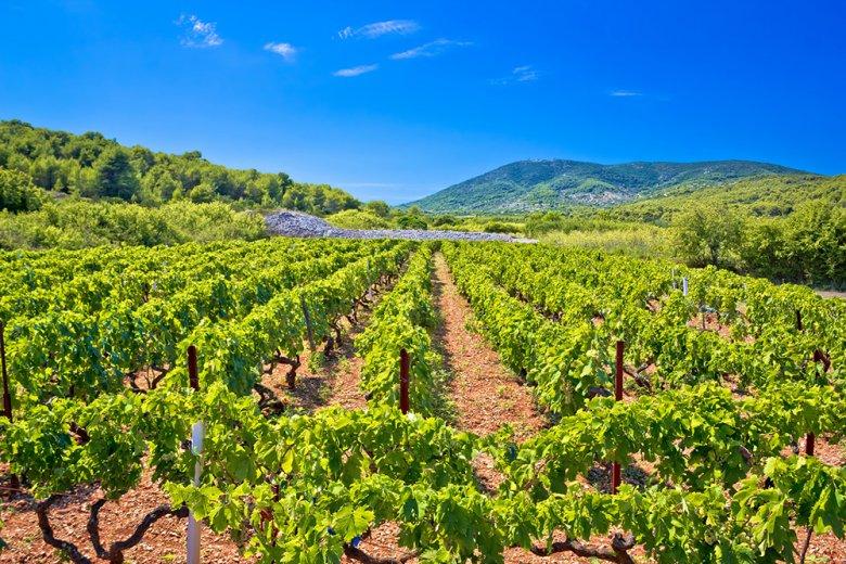 Neben dem Olivenanbau und der Fischerei zählt der Weinbau als wichtiger Wirtschaftszweig in Dalmatien.