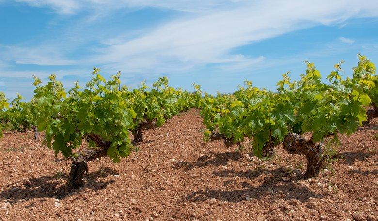Auf Zypern werden vor allem einheimische Weinsorten angebaut.