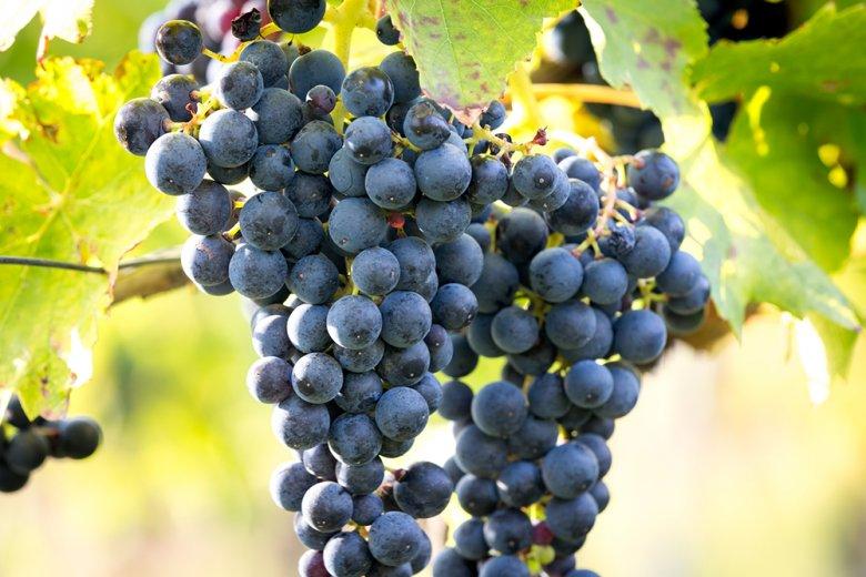 Die frühreife Rotweinrebe ist noch relativ neu und gehört zu den beliebtesten Wein-Rebsorten.