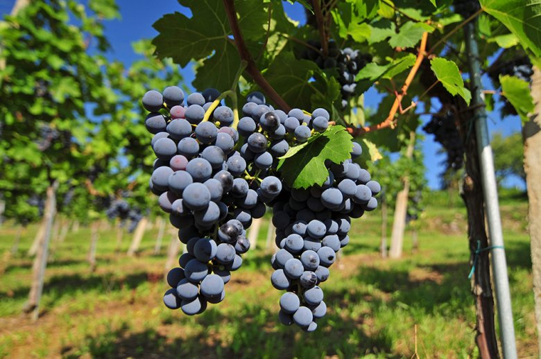 Lemberger ist eine bekömmliche Rotwein Rebsorte und wird hauptsächlich in Österreich angebaut.