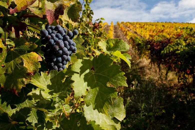 Aus den Portugieser-Reben entstehen feine leichte Rot- und Roséweine.
