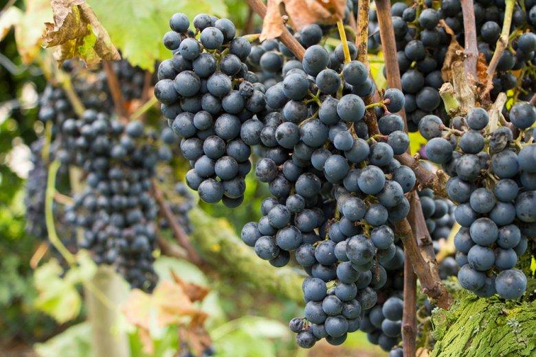 Der Regent ist eine relativ neue rote Rebsorte, pilzwiderstandsfähig und eine Qualitäts-Rebsorte.