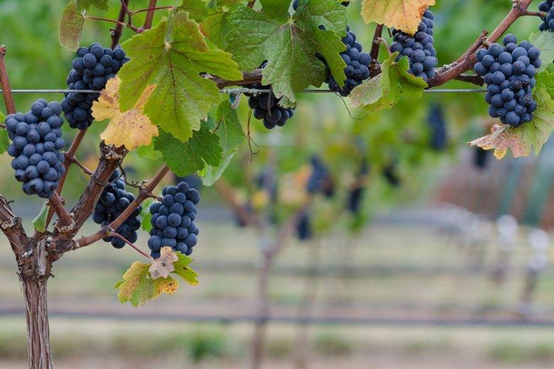 Spätburgunder (Pinot Noir) ist eine sehr alte Rebsorte und ist schon seit über 1000 Jahren bekannt.