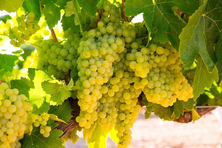 Ein Chardonnay passt zu gegrilltem und gebratenem Lachs, Thunfisch oder auch Rotbarsch.
