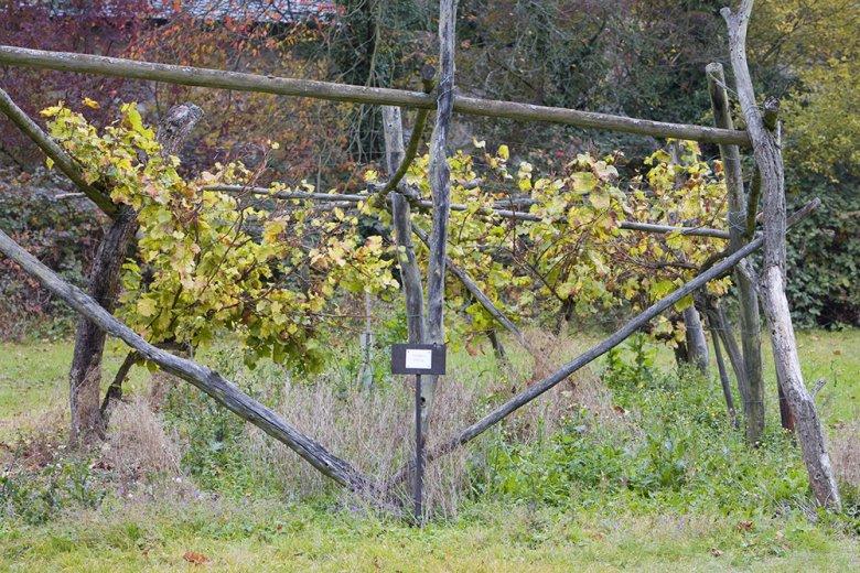 Der erfrischende Elbling gehört zu den ältesten kultivierten Weißweinreben Europas.