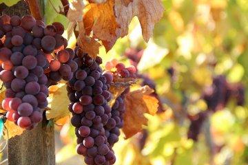 Grauburgunder (Pinot Grigio)
