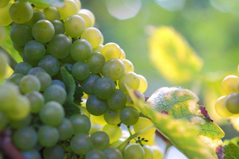 Die Scheurebe ist ein Weisswein mit einem kräftigen Bouquet.