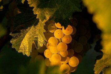 Weissburgunder (Pinot blanc)